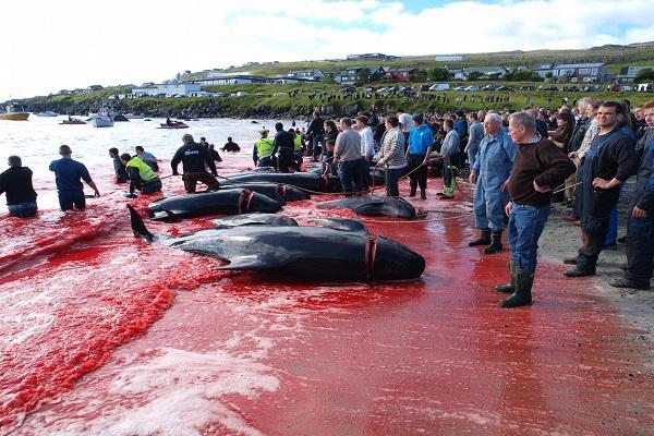 Strage di delfini: Grindadráp, il massacro delle Isole Faroe