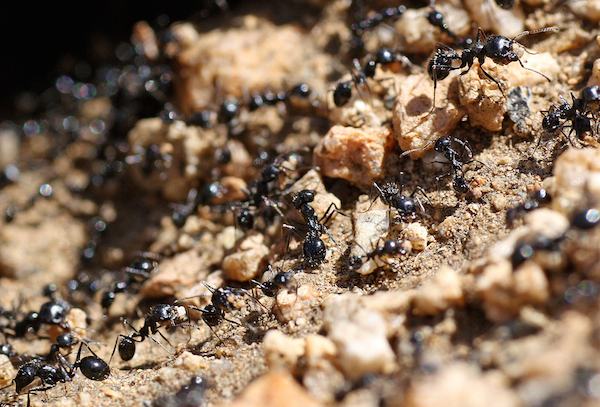 formiche rimedi naturali