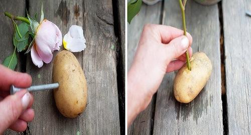 coltivare le rose con una patata