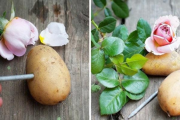 coltivare le rose con le patate