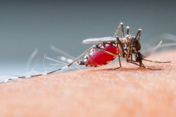 infestazione di zanzara tigre