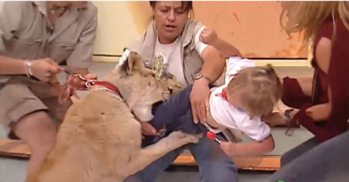 leone aggredisce una bambina piccola in diretta TV, video