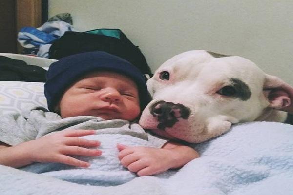 Risultati immagini per pit bull amichevole con bimbo