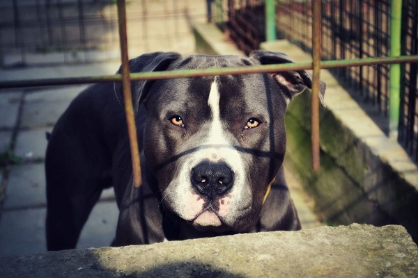 Bimbo Disabile Morso da un Pitbull
