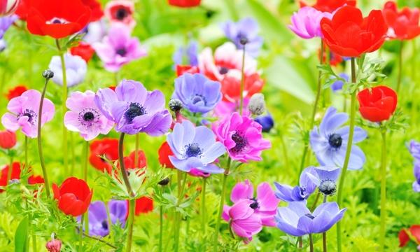 anemone, miti e leggende che non si conoscono