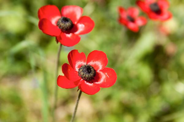 anemone, significato e leggenda del fiore