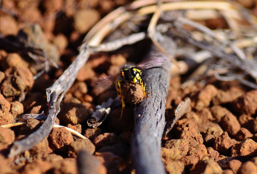 Vespula germanica, nidi di terra di vespe.