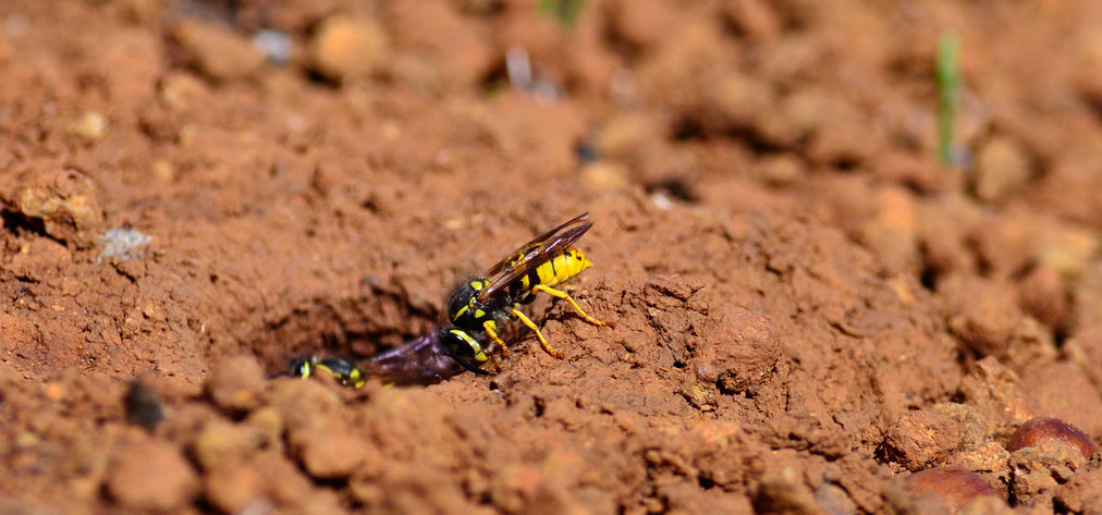 Vespula germanica, nidi di terra di vespe