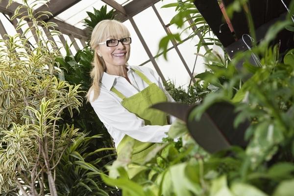 coltivare lo zenzero in casa, quali sono i passaggi per piantarlo