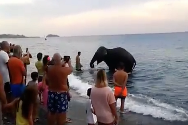 Elefante scappa dal circo e si tuffa in mare: la verità