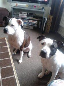 Reuben McNulty, 2mesi, è morto dopo 1mese di agonia era stato aggredito e mutilato dai due cani domestici. Abbattuta la coppia di Staffordshire Bull Terrier