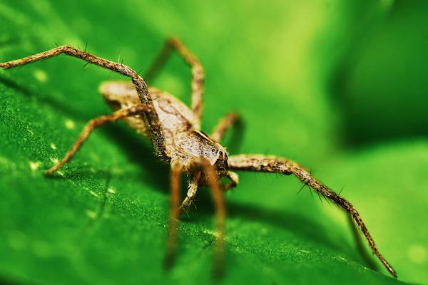 puntura di ragno sintomi